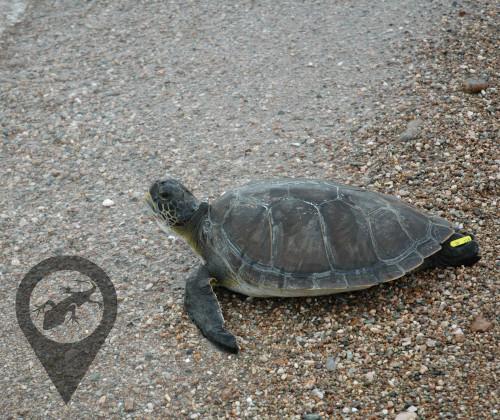 Πράσινη χελώνα