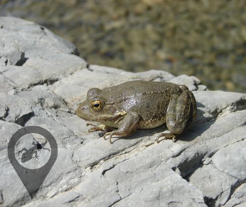 Βάτραχος της Καρπάθου