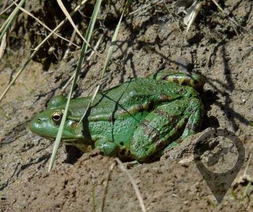Βάτραχος της Κρήτης