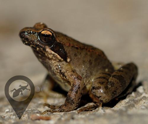 Γραικοβάτραχος